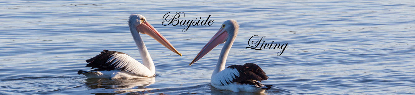 Two pelicans floating in Moreton Bay off the Redcliffe Peninsula QLD Australia